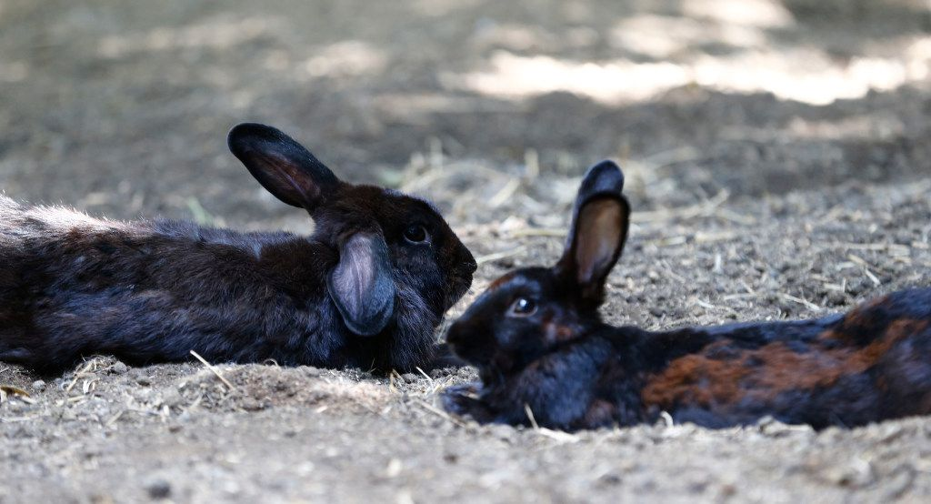 Some bunnies are harder to find adoptive homes than others, whether because of their coloring or injuries.