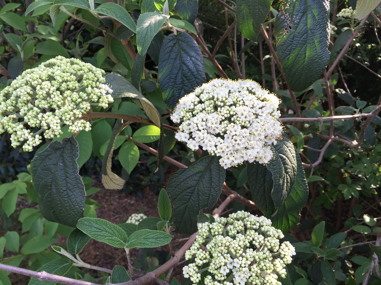 Leatherleaf or rough-leaf viburnum is another good choice and doesn't have the name confusion. It has mildly fragrant creamy white flower clusters.