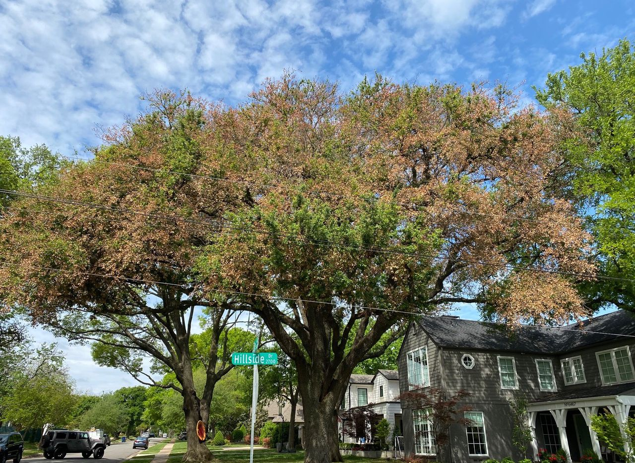 Live oaks still holding brown leaves are damaged and will need at least some corrective pruning.