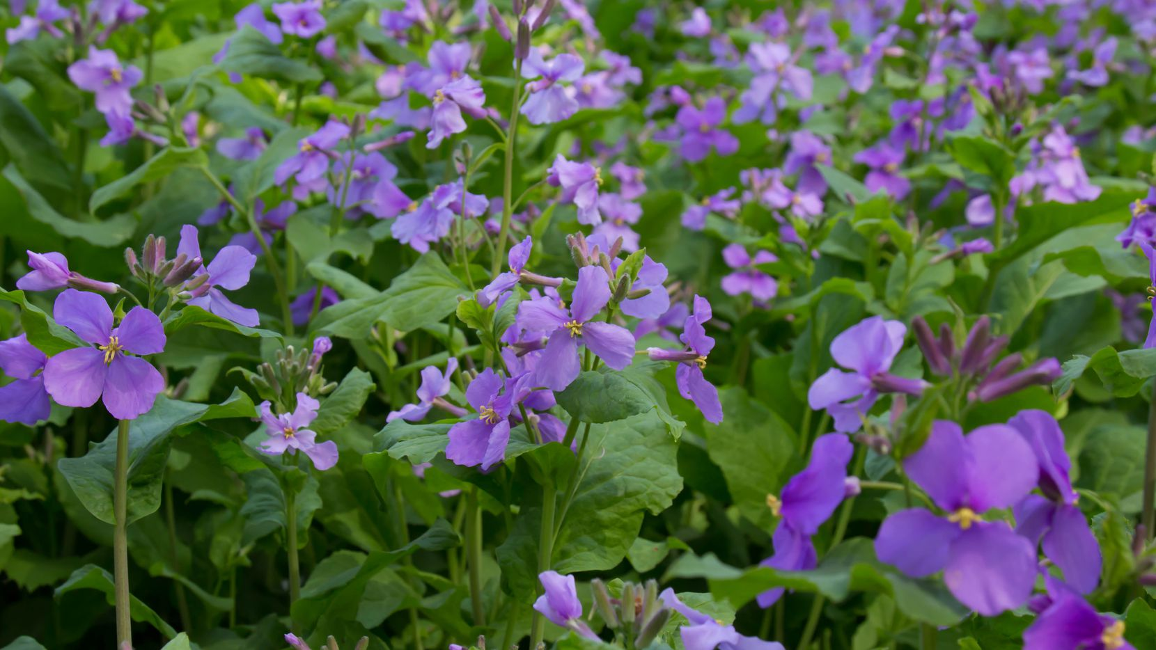 The Chinese violet cress can produce oil good enough to fill your car's crankcase.