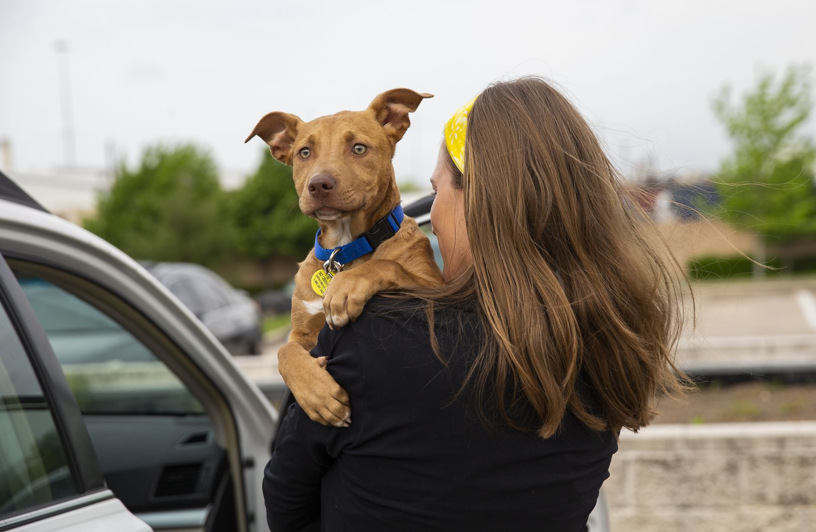 "Lexi Sorbara  carries her foster dog, Biggs, to the car after picking him up curbside at Dallas Animal Services  on Thursday. ""Biggs won Lexi's heart over pretty quickly,"" husband Drew Morgan says and the couple has now decided to permanently adopt him."