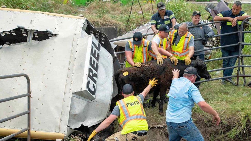 Firefighters worked to save cows after a truck carrying them overturned, killing 50 cows.