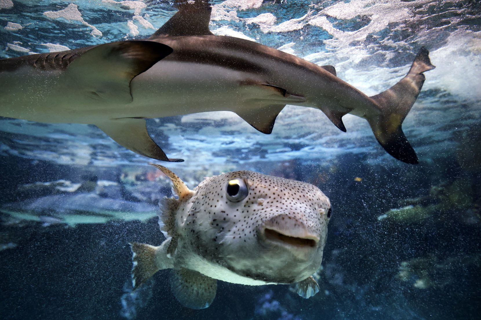 A Porcupine Pufferfish swims below a passing blacktip shark in one of the tanks at The Children's Aquarium at Fair Park in Dallas, Friday, September 17, 2021. The aquarium will reopen for the first time since the COVID-19 pandemic during the State Fair of Texas. (Tom Fox/The Dallas Morning News)