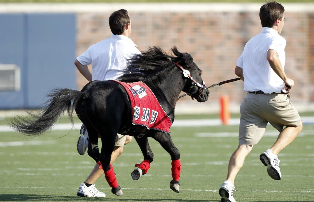 "Two handlers take SMU mascot ""Peruna"" for a spin across the field just after halftime of college football action between Washington State and SMU at Ford Stadium in University Park on September 18, 2010. SMU won 35-21. (John F. Rhodes / The Dallas Morning News)"