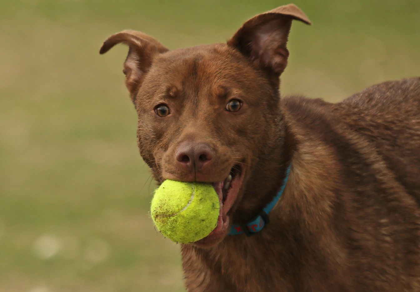 """""""Jax"""" enjoys a game of catch with his owners at NorthBark Dog Park, located near the intersection of the Dallas North Tollway and the Bush Toll Road, photographed on Saturday, April 1, 2017."""