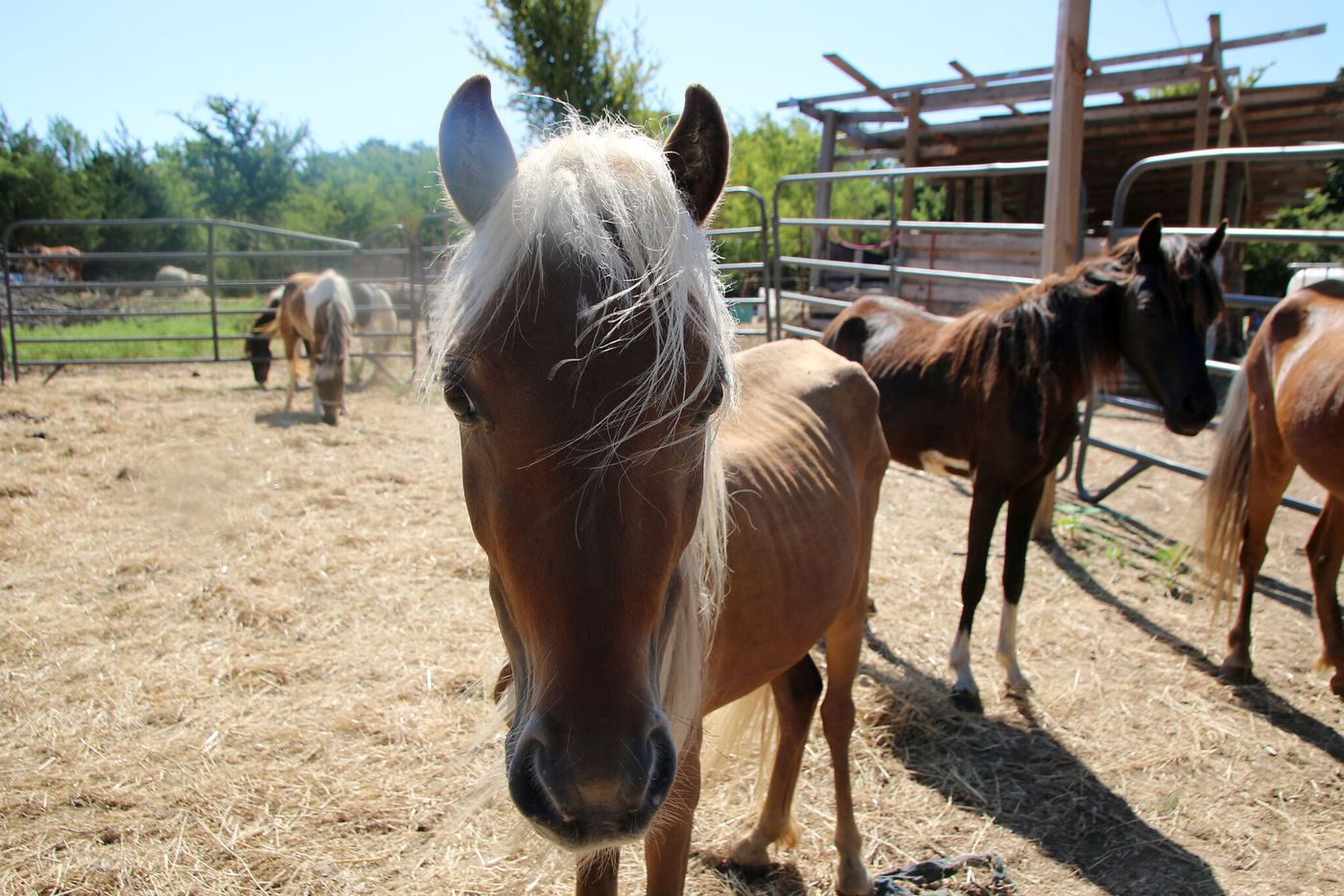 Horses seized by the SPCA in Dallas County.