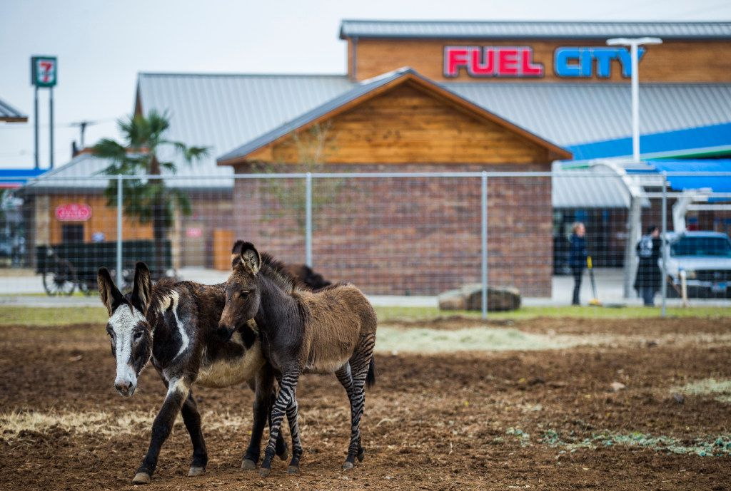 A donkey and a zonkey - bred from a zebra and a donkey - outside a new Fuel City location on Friday, December 16, 2016 on Haltom Road in Haltom City. (Ashley Landis/The Dallas Morning News)