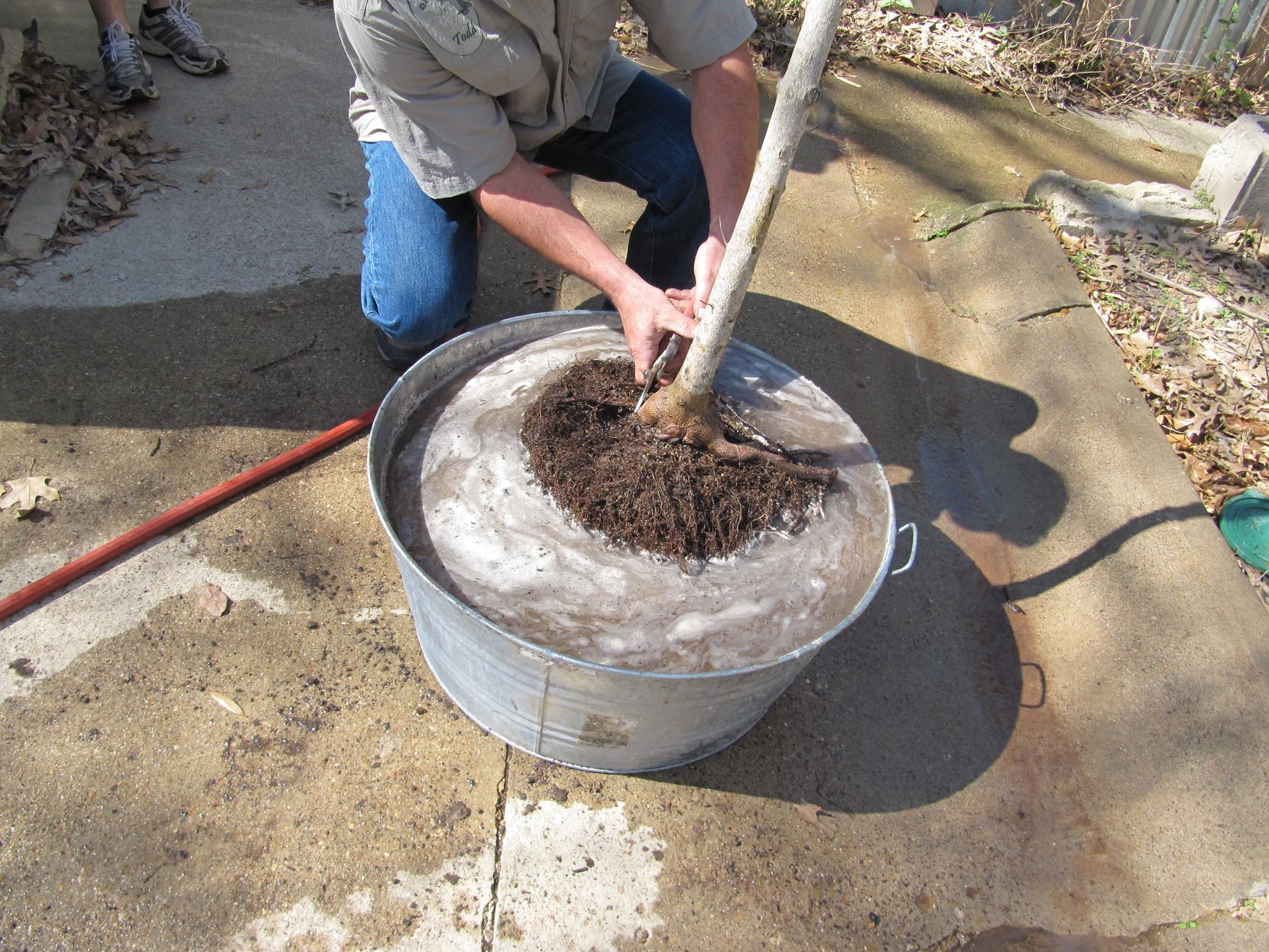 Before planting, soak root balls in water until they are thoroughly saturated.