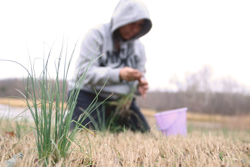 A member of the Muscogee Creek tribe of Oklahoma picks wild onions. Wild onion dinners are a benefit for American Indian tribes in Oklahoma and the Dallas United Indian Methodist Church has scheduled its own on March 25.