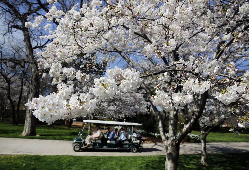 Now Is The Time To See Cherry Blossoms At The Dallas Arboretum