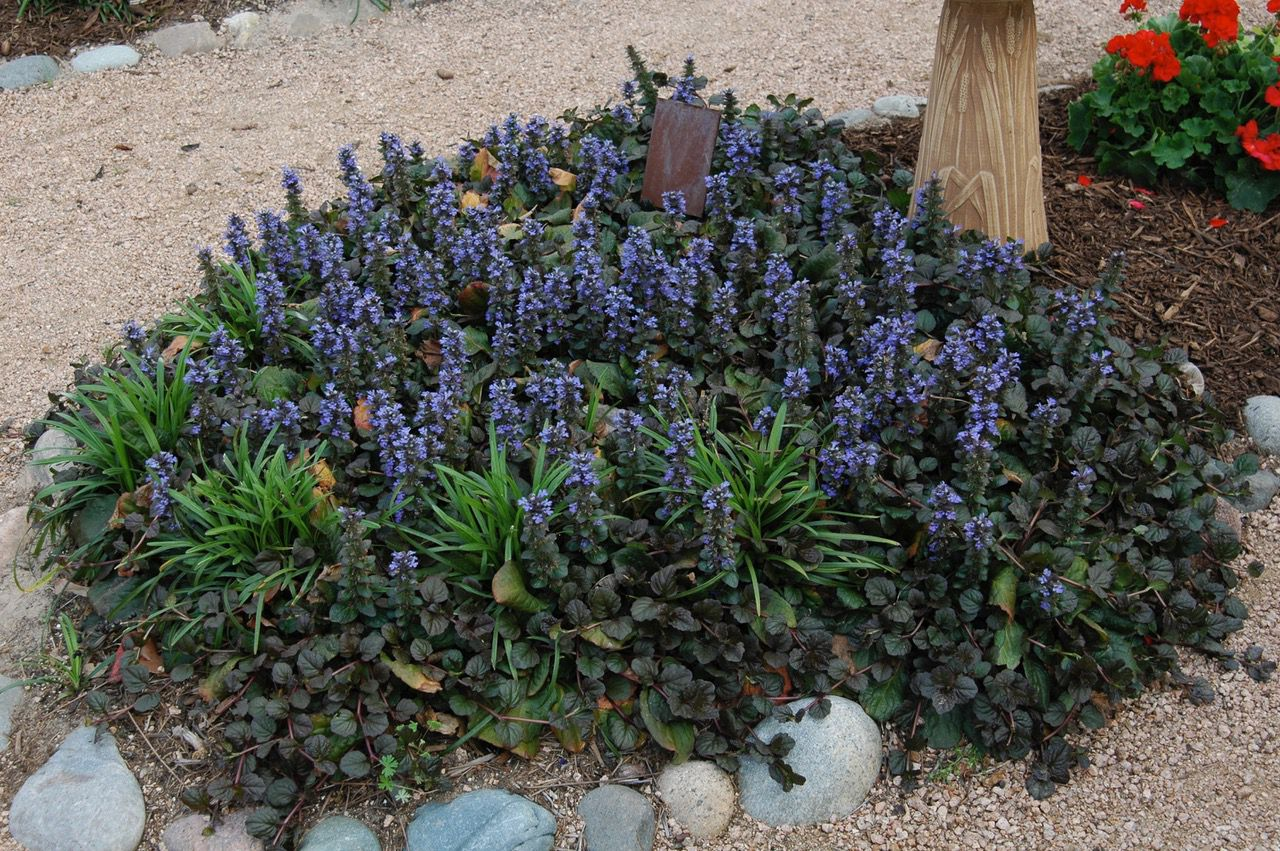 Giant ajuga is a larger-growing and tougher form of the flowering ground cover.