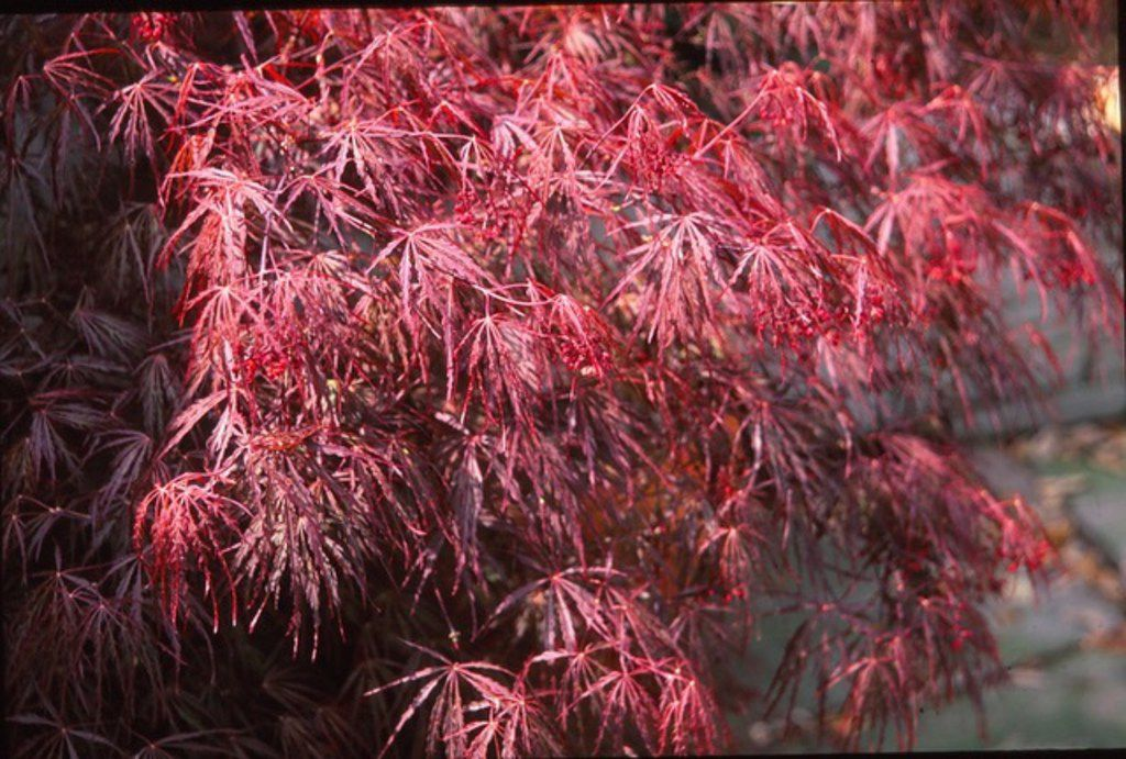 The Crimson Queen Japanese maple tree shows beautiful new spring growth.
