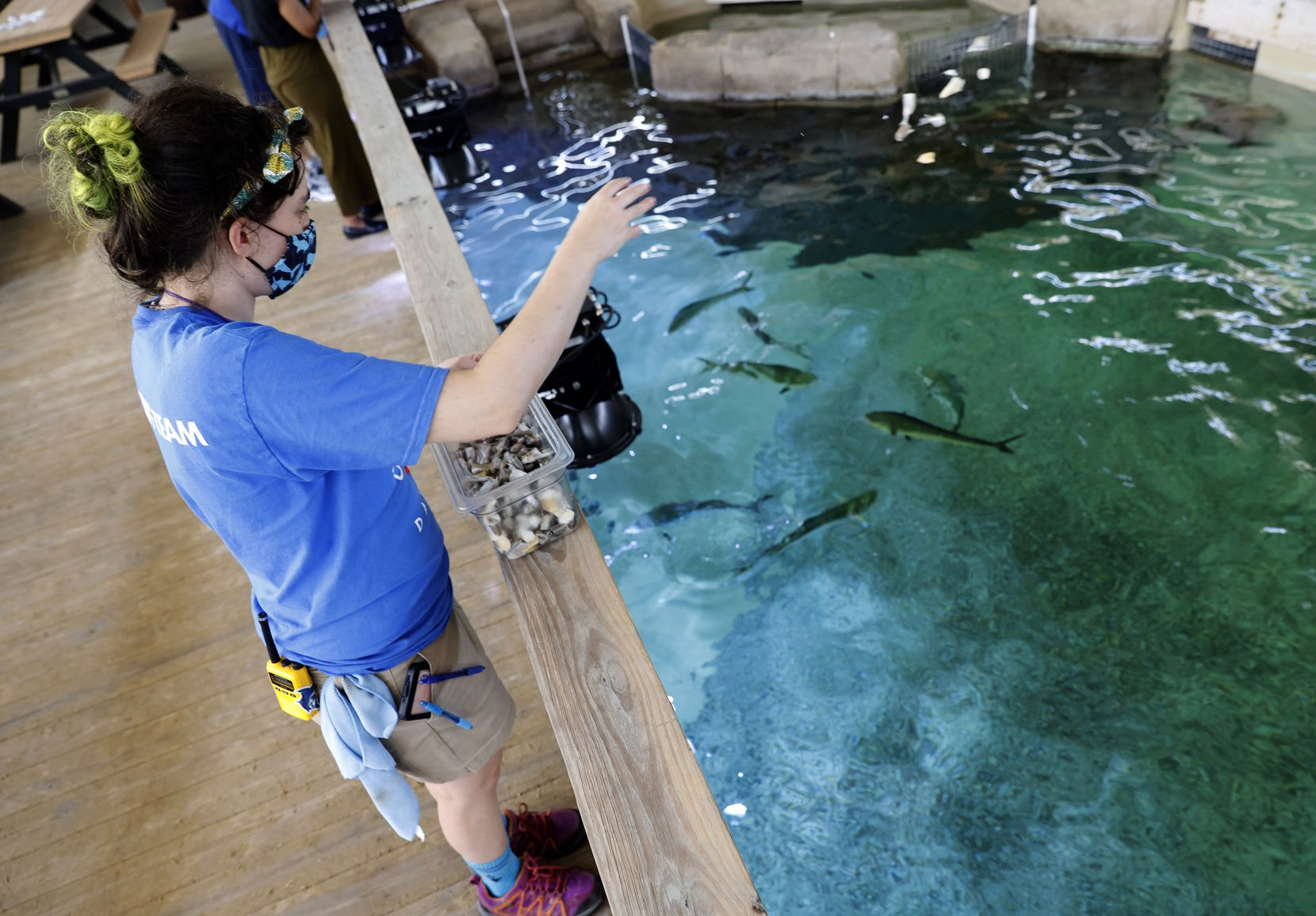 Assistant Supervisor of Animal Care Laura Cooper feeds mahi mahi in an outdoor viewing area at The Children's Aquarium at Fair Park in Dallas,  The aquarium will reopen for the first time since the COVID-19 pandemic during the State Fair of Texas.