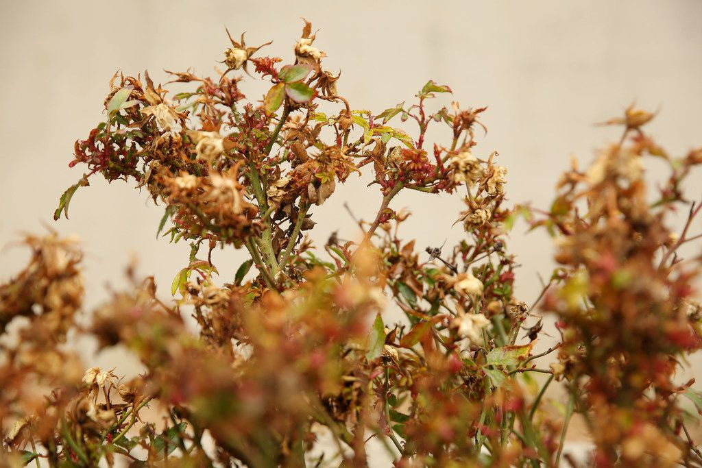 """Many of the rose bushes outside of Waxahachie City Hall have the virus called """"rose rosette."""""""