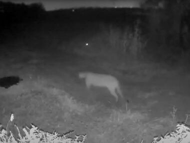 Stephanie Higgins of Rowlett recently posted on her Facebook page a trail camera video of a mountain lion walking down a dirt road at night. The spooky image showed a big cat with a long tail that touched the ground, a feature that distinguishes it from a bobcat for which the mountain lion is commonly mistaken. The Texas Parks and Wildlife says it's the first confirmed sighting of a mountain lion in Dallas County in its records.