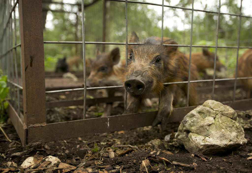A sow and her ten pigs are caught in a trap in northwest San Antonio on Thursday July 17, 2014.   JAY JANNER / AMERICAN-STATESMAN