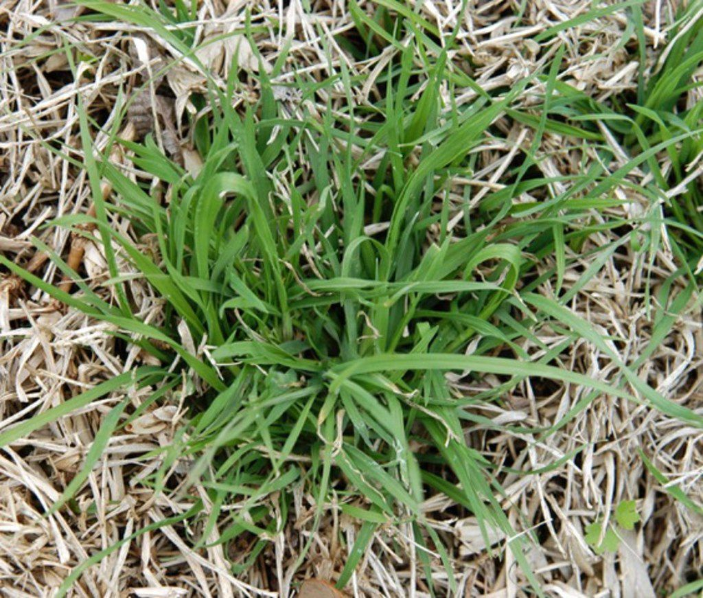 Rescuegrass winter weed