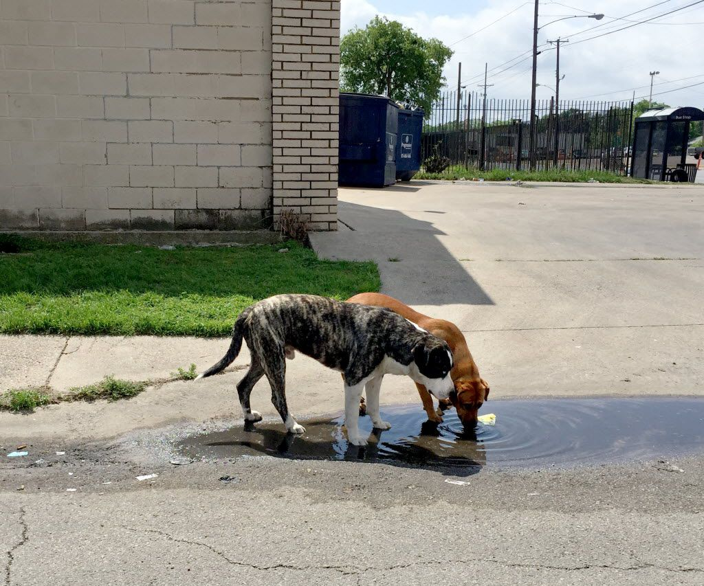 Two loose dogs drink from a puddle on Jamaica Street at Second Avenue in southern Dallas April 25, 2016. (Guy Reynolds/The Dallas Morning News)