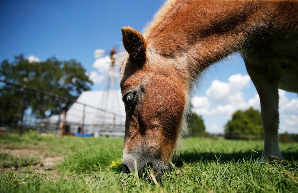 Snickers, a mini horse, eats grass in the front yard of the Reeves Family Farm in Princeton.