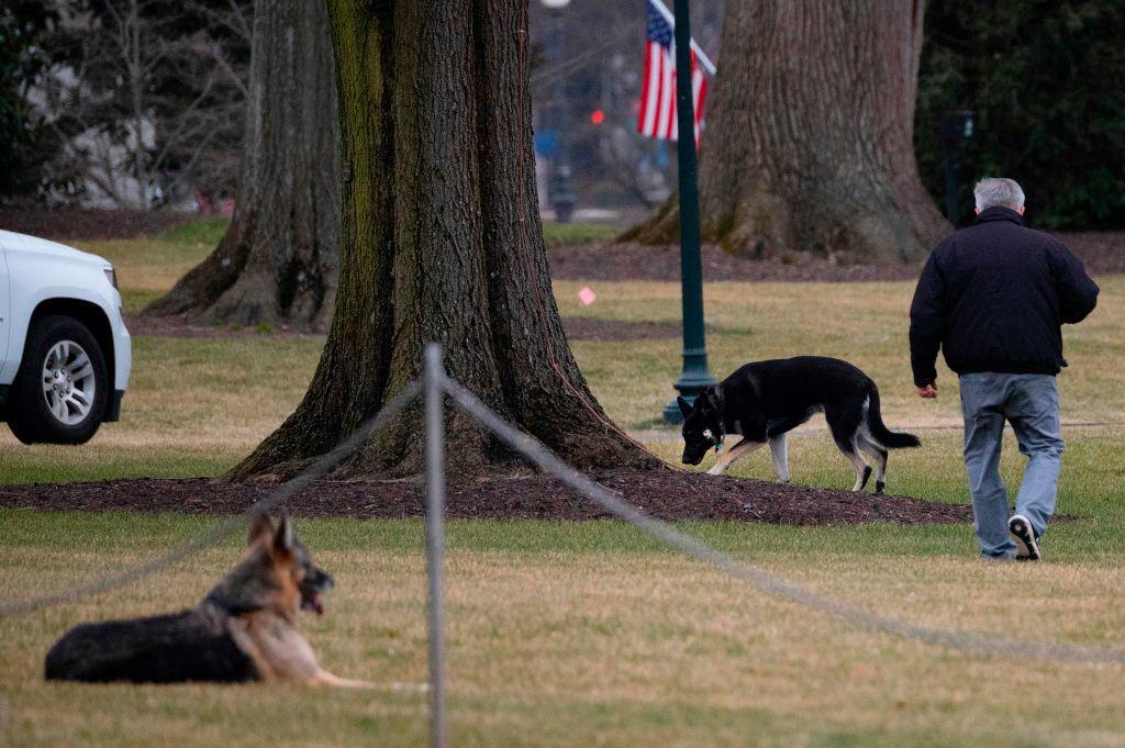 Champ y Major Biden, los dos perros del presidente, en el Jardín Sur de la Casa Blanca, el 25 de enero de 2021 en Washington, D.C.