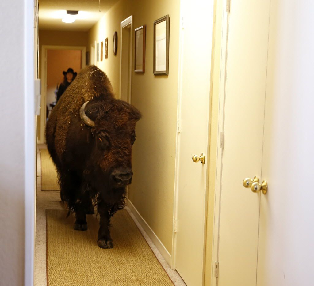 Bullet walks through the hallway of her owner Karen Schoeve's home in Argyle, Texas on Friday, May 13, 2016. Schoeve has owned her bison Bullet for a little less than 5 years. (Vernon Bryant/The Dallas Morning News)