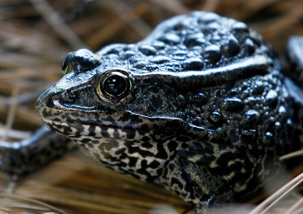 A gopher frog is seen at the Audubon Zoo in New Orleans.