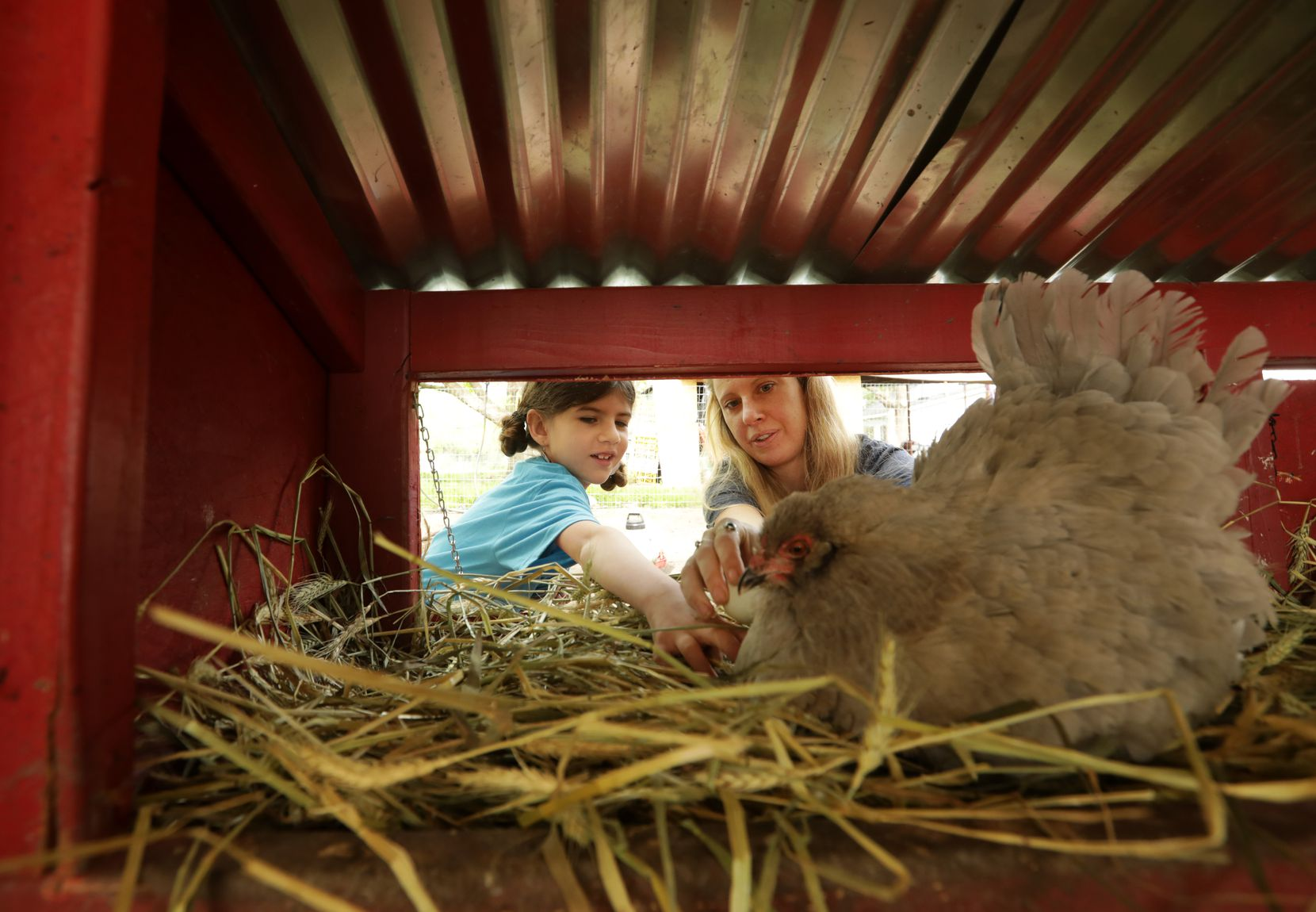 Seven-year-old Joplin Ramos, left, and Casey Cutler check for eggs in a chicken coop at their home in McKinney.