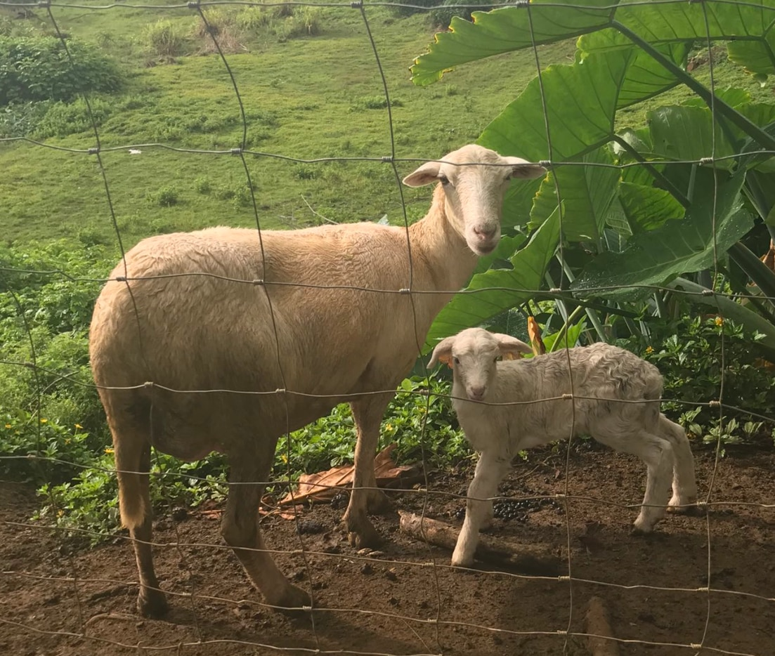 One of the Von Erichs' sheep has given birth to the first lamb of the season overnight.