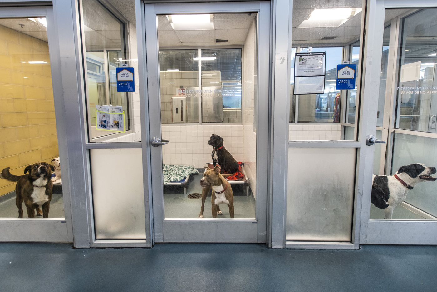 Paired dogs occupy the kennels at the Dallas Animal Services shelter in Dallas on Wednesday, May 26, 2021. Dallas Animal Services is running out of kennels for medium and large dogs, and has made an urgent call for people to help by fostering or adopting a dog. (Lynda M. González/The Dallas Morning News)