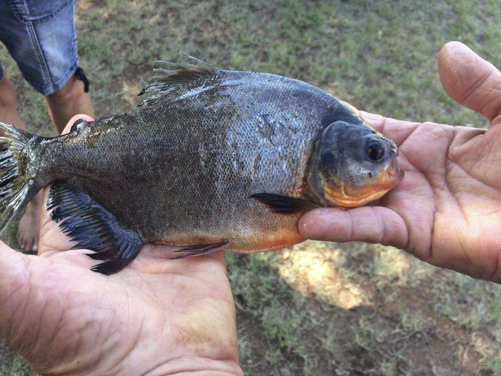 Un pacú que fue pescado en el sur de Oklahoma en 2018. Esta especie de dientes afilados es endémica de la amazonía, no tiene porque aparecer en lagos de Estados Unidos a menos que un humano intervenga.