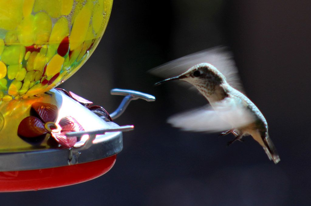 A hummingbird comes in for a landing on a glass feeder in Santa Fe in 2017.