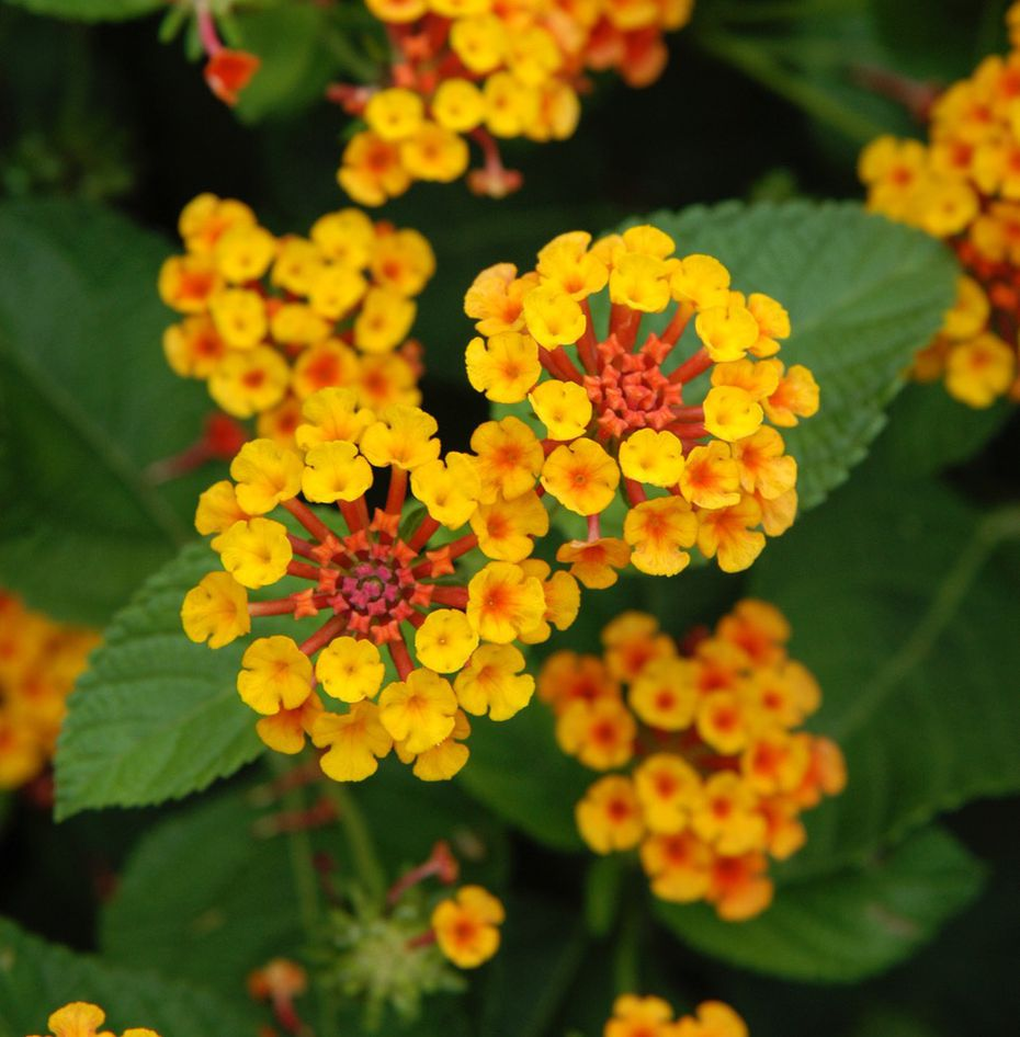 Lantana can be planted now for additional summer color.