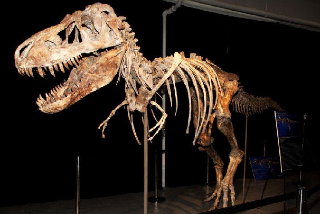 A Tyrannosaurus baatar skeleton.