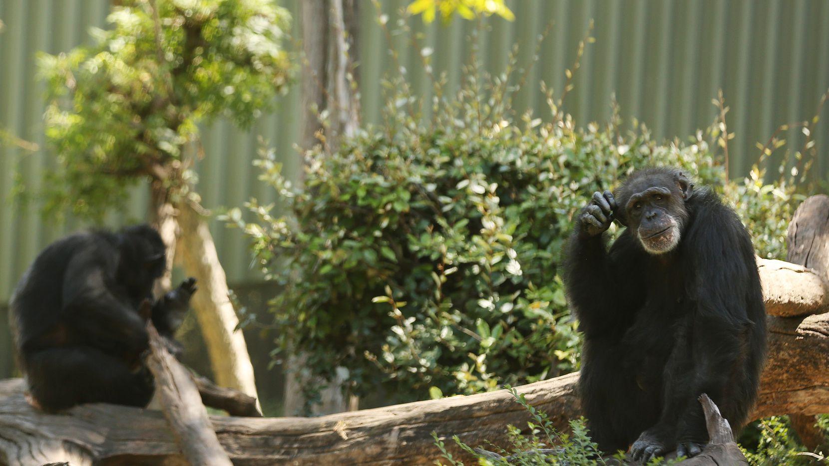 Missy (der), la chimpancé de más edad en el zoológico de dallas falleció el jueves.