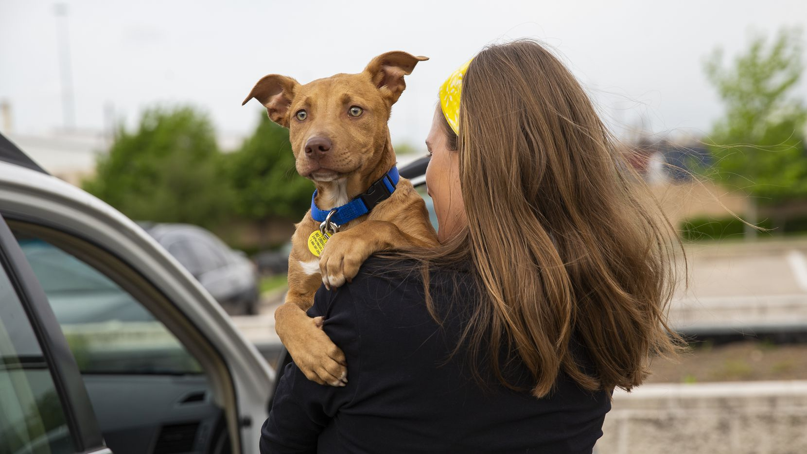 Irving Animal Services will waive adoption fees for all animals under 1 year Saturday as part of a Thanksgiving-themed event. Lexi Sorbara  carries her new foster dog Biggs into the car after picking him up curbside at Dallas Animal Services.