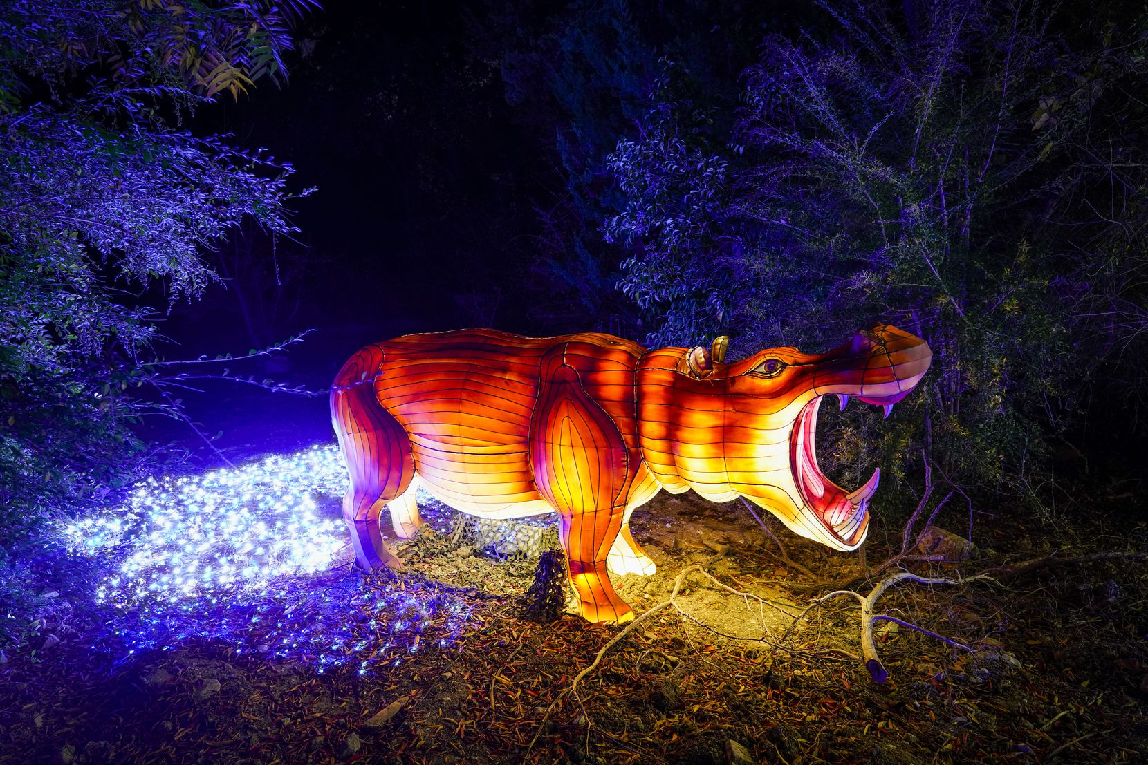 A lantern in the shape of a hippopotamus is seen along the side of the route during Dallas Zoo Lights on Wednesday, Nov. 18, 2020, in Dallas. The Dallas Zoo?s display of one million lights and silk-covered, animal-shaped, lanterns is presented as a drive-through this year.  (Smiley N. Pool/The Dallas Morning News)