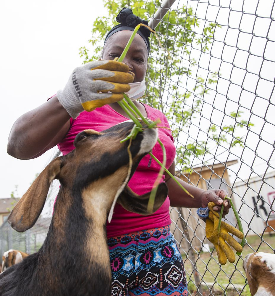 Bonton Fams employee Jeanette Avila feeds the goats at the farm.