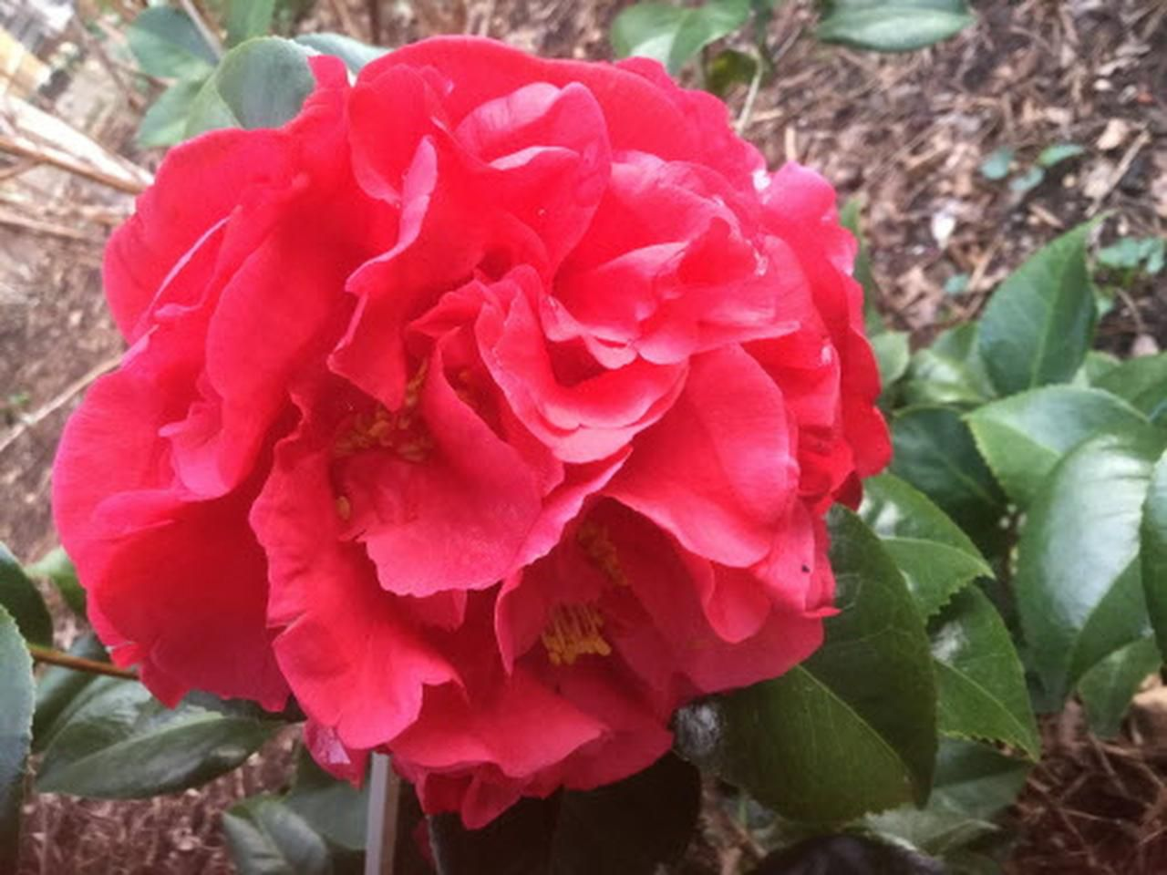 Camellia japonica 'Kramer's Supreme' is an old favorite in the Dallas garden. Its large, rose-red peony form is a highlight of the late-winter garden.