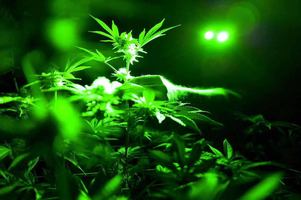 Esta foto de archivo del 20 de mayo del 2019 muestra plantas de marihuana dentro de un cuarto de cultivo, usando luces verdes en Gardena, California. (AP Foto/Richard Vogel, Archivo)