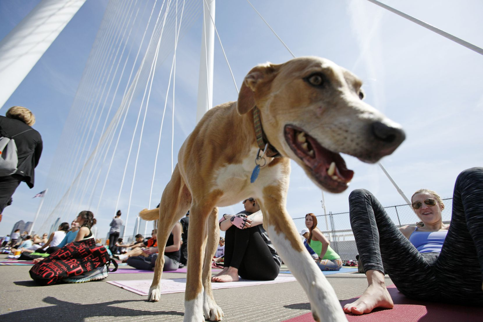 A dog named Maggie strolled between yoga enthusiasts  on the Margaret Hunt Hill Bridge during the All Out Trinity Festival.