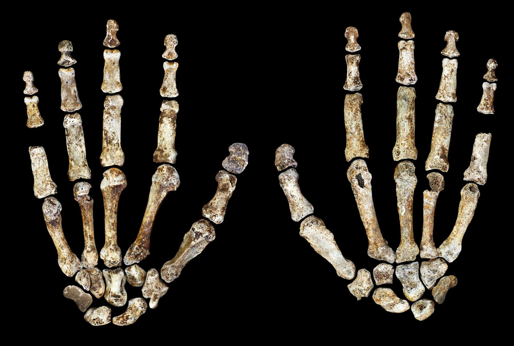 The complete hand of Homo naledi, shown in palmar (left) and dorsal (right) views.