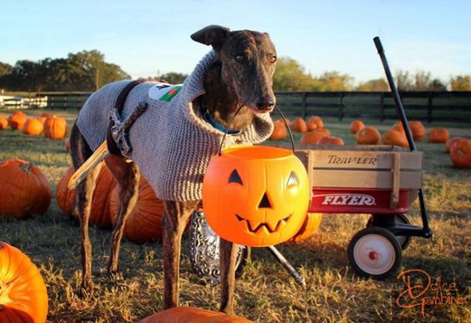 Dolce Gambino of Frisco, one of our Dog About Town pack members, had his portrait taken at the Flower Mound Pumpkin Patch last year.