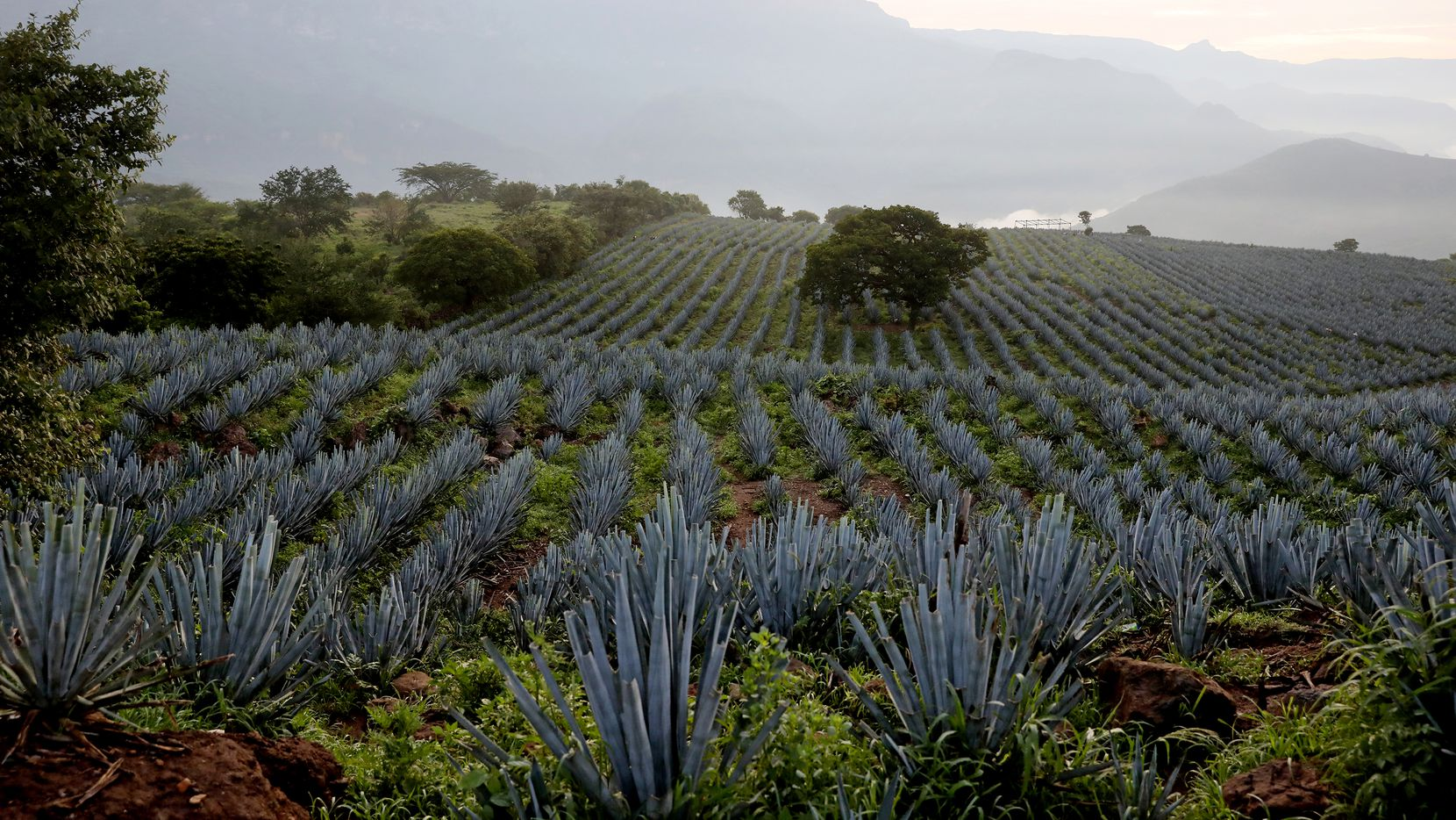 Blue agave fields with the Sierra Madre Occidental seen in the background on July 26 in San Martin de las Canas, Jalisco. San Martin del las Canas is just outside of the town of Tequila and is considered the cradle of blue agave.