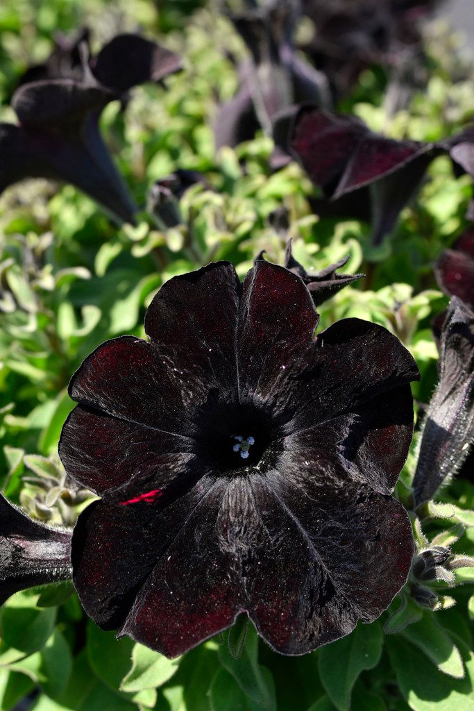 Crazytunia Black Mamba Petunia grown at the Dallas Arboretum's newest greenhouse, The Tom and Phyllis McCasland Horticulture Center.