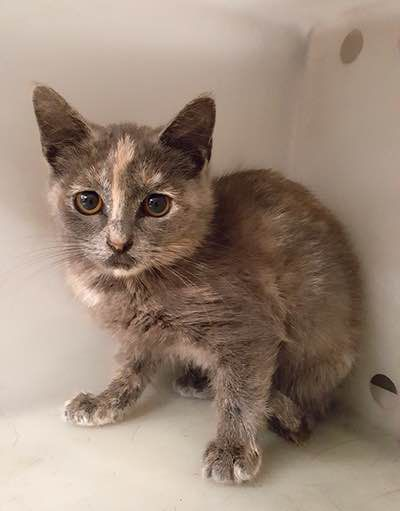 Initially ruled out for potential adoption, this dilute torti is on the Dallas Cats in Need of Transfer page.