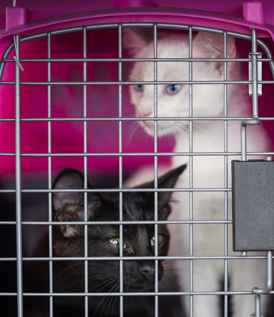 Ebony and Ivory, two feline brothers, looked out from their carrier after Dallas Animal Services' staff put them in the front seat of Jennifer Olson's car as part of the shelter's curbside adoption effort
