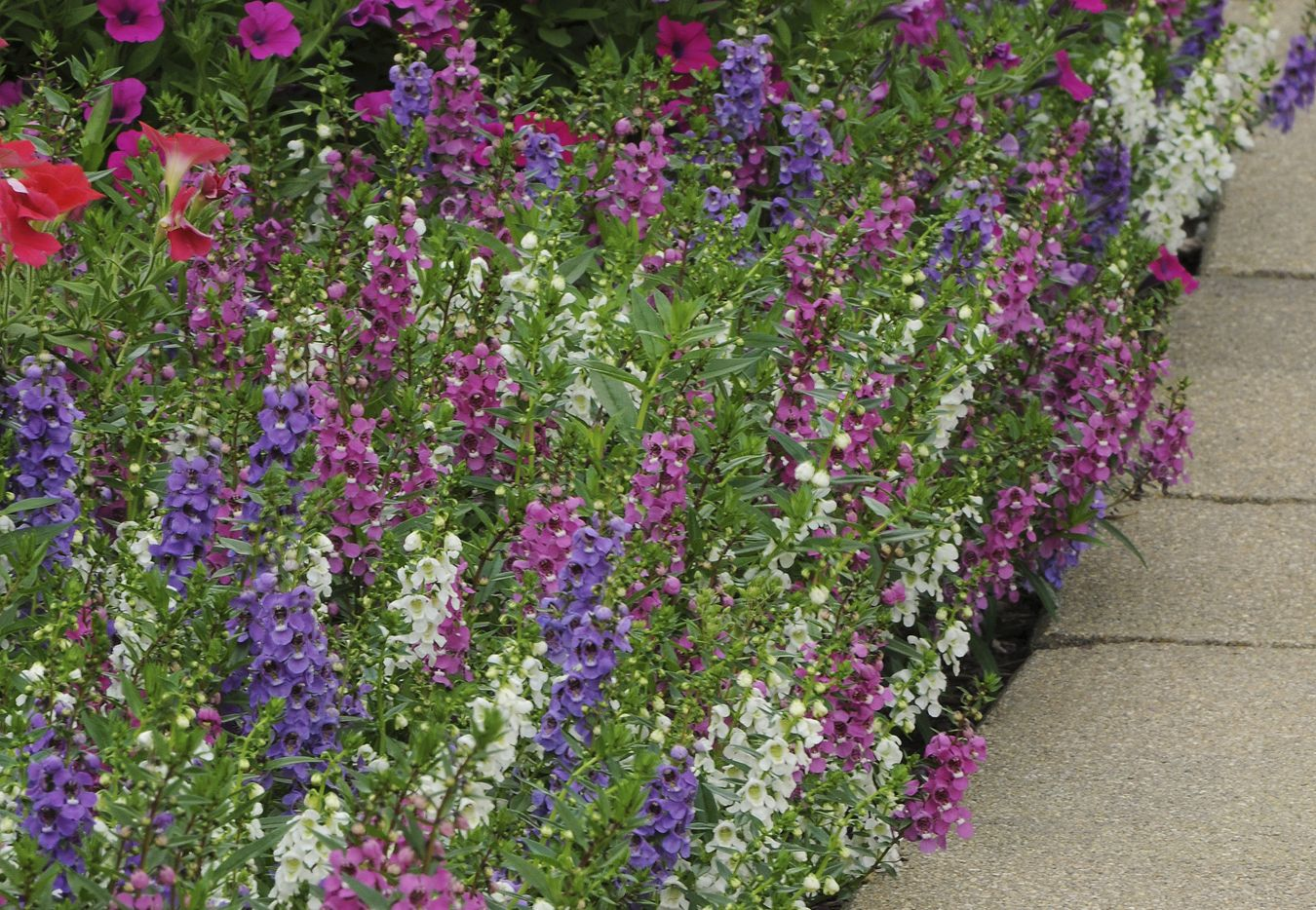 Meet Angelonia The Summer Snapdragon