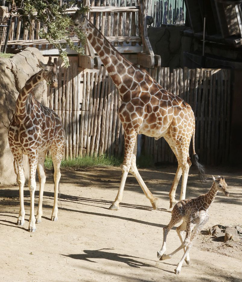 Three-week-old giraffe calf Tsavo, foreground, born late last month to the Dallas Zoo's beloved giraffe Katie, left, made his first scheduled public appearance in the giraffe-feeding yard as Uncle Auggie, right watches on Wednesday, June 21, 2017.