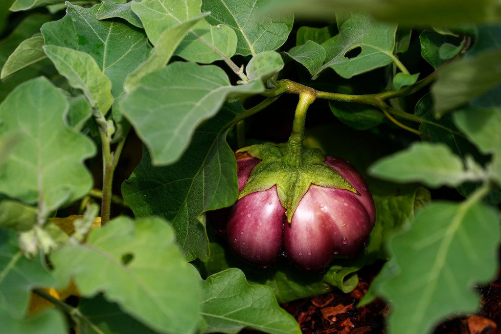 A Tasteful Place vegetable garden at the Dallas Arboretum features many varieties of eggplant.