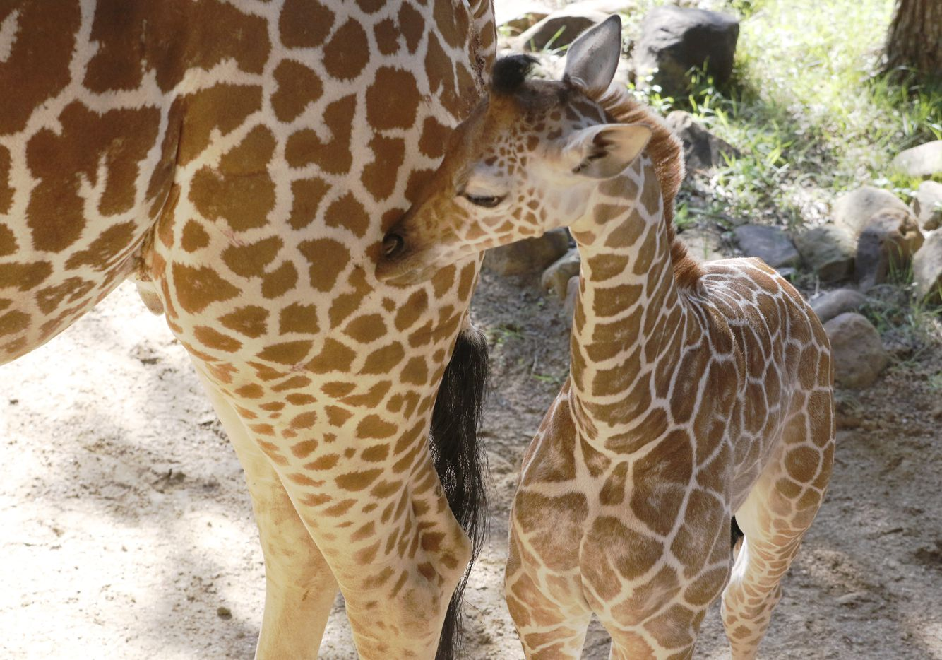 Three-week-old giraffe calf Tsavo born late last month to the Dallas Zoo's beloved giraffe Katie, made his first scheduled public appearance in the giraffe-feeding yard on Wednesday, June 21, 2017.